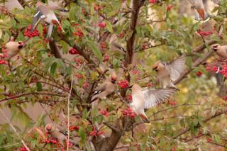 A waxwing feeding frenzy in Kirriemuir