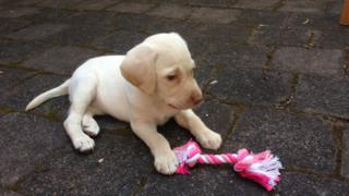 Sasha, a pale golden Labrador puppy, sits on the ground next to a bright pink chew toy