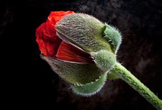 Giant Poppy - Stuart Hall / www.igpoty.com