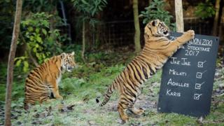 The two Sumatran Tiger cubs play next to a board placed in their enclosure
