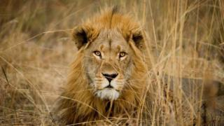 A lion with a full mane looks directly at the camera, it is lying in long grass