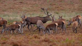 Red Deer in Bradgate Park, Leicestershire