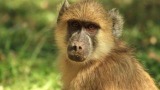 Close up of a baboon looking directly into camera with a natural green grass background in South Luangwa, Zambia, Southern Africa