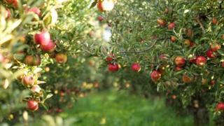 مزرعة تفاح