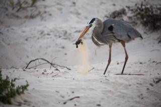 A great blue heron catching a sea turtle hatchling