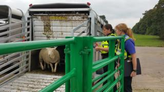 Cumbria police officers inspecting sheep in trailer