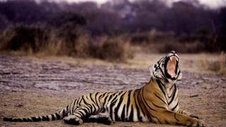 A tiger yawns at the Ranthambore National Park, in India's northwestern Rajasthan state (image 8 June 2012)