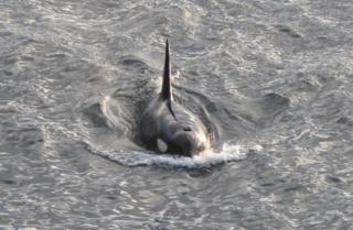 Male orca off Dunnet Head