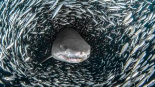 """صورة فوتوغرافية لسمكة القرش وسط """"إعصار سمكي"""""""