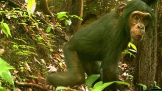 Nigeria-Cameroon chimpanzee for forest