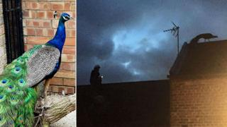 Peacock on rooftop