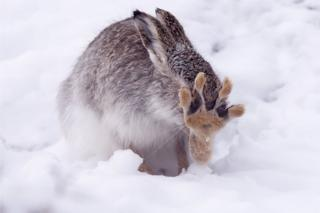 Mountain hare in the snowy Highlands.