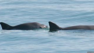Vaquita porpoises are rarely seen