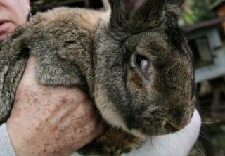 这只兔子并不是西蒙