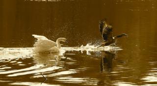 Swan chasing duck