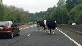 M1 Cows