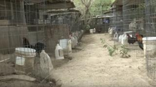 Some of the roosters in cages at the property in Los Angeles County