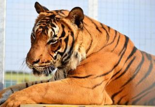 Tiger called Cicip