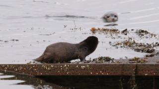 Otter and seal