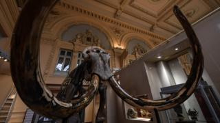 The skeleton of a mammoth which will go on auction on December 16, 2017 at the Aguttes auction house.
