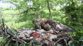 Red kite dead on nest found outside Katesbridge