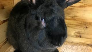 Simon the rabbit