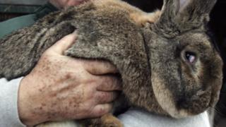 Giant rabbit - not Simon