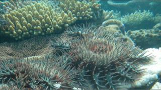 Crown-of-thorns starfish on a reef