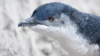 Малий пінгвін