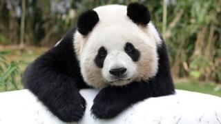 El panda gigante chino Ai Bao descansa en el parque Everland el 7 de abril de 2016 en Yongin, Corea del Sur.