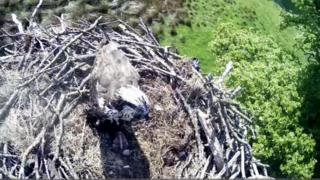 An osprey in its nest