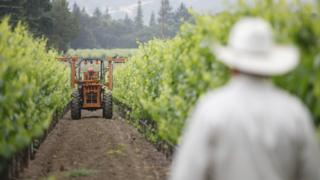 A vineyard worker for a Napa Valley winemaker, Hill Family Estate, looks at a tractor trimming grapevine branches on June 4, 2012 in California.