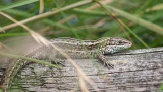 Adult lizard