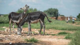 驴皮被煎煮浓缩后可制成中药阿胶。