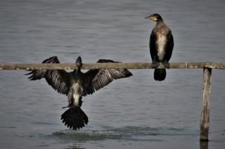 Two Cormorant birds
