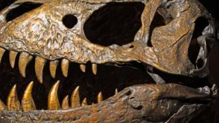 Crânio de tiranossauro