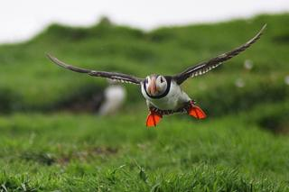 Puffin flight on the Isle of May