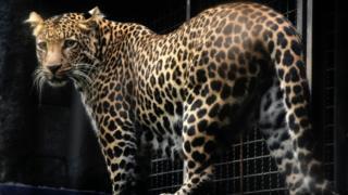 Самка яванского леопарда