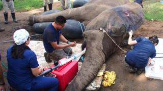 Tantor the Elephant at Barranquilla Zoo has surgery 11/11/17
