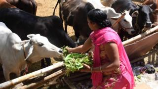 Woman feeding cows