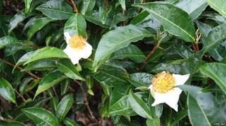 ชา 6 ชนิดหลัก ทำมาจากใบและยอดอ่อนของต้นชา Camellia sinensis