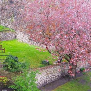 Cherryblossom in the garden at Dumbarton Castle & Rock