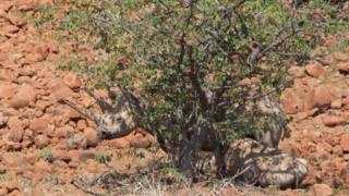 A female black rhino and her calf in Palmwag, Namibia
