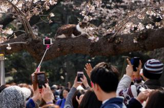 People take pictures of a cat sitting on a cherry blossom tree at a park in Tokyo, Japan, 30 March 2017.