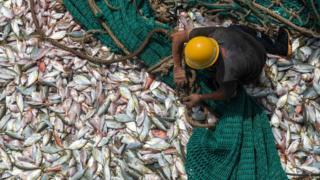 几内亚科纳克里一名渔工在一艘中国渔船上处理渔获(2/4/2017)