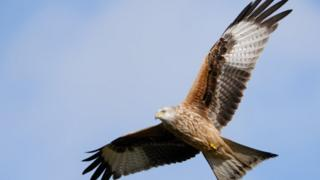 A flying Red Kite.
