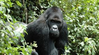 Undated handout photo issued by the International Union for Conservation of Nature of an eastern gorilla, which is sliding towards extinction