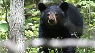 Bear Drives Car In Durango
