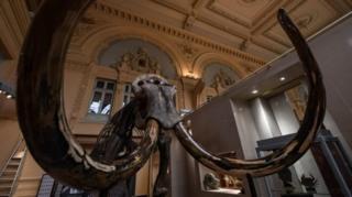 โครงกระดูกช้างแมมมอธนี้สูง 3.4 เมตร มีงายาวกว่า 3 เมตร