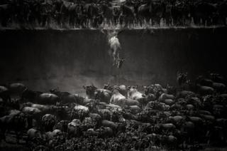 Wildebeest - Mara river, North Serengeti